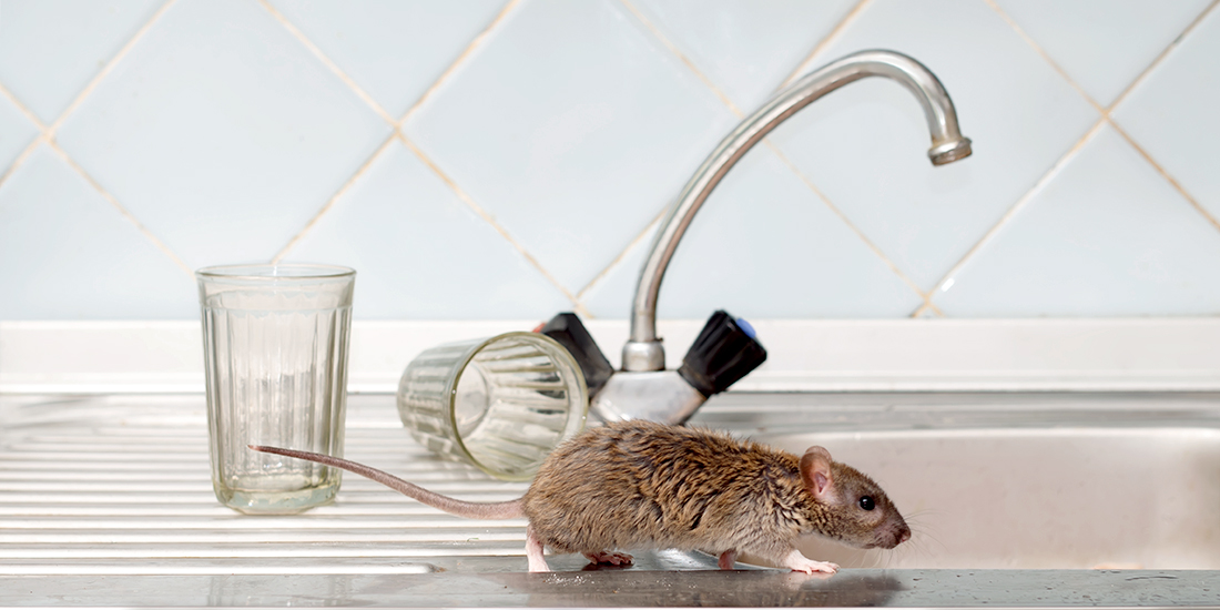 Rat Runs Across a Kitchen Counter