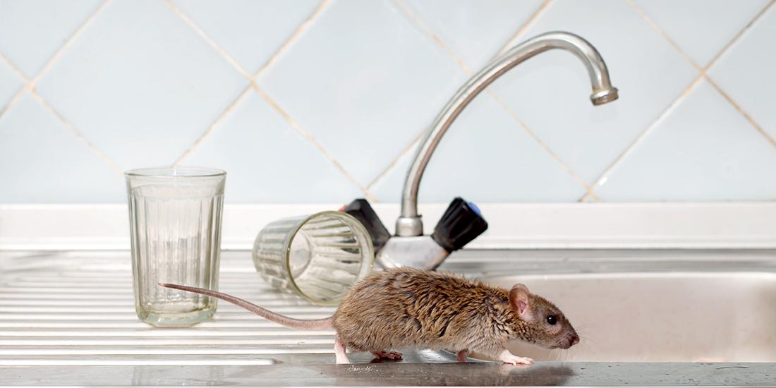 Rat Runs Across a Kitchen Counter